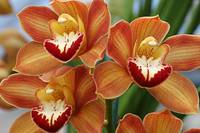 Orange Cymbidium Orchids