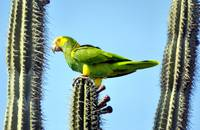 South American Parrot