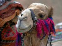 My Friend the Camel
