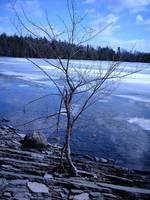Little Tree in a Ice Pond