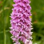 """Common Spotted-orchid"" by roger"