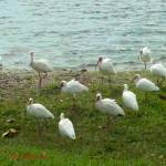 """""""Birds on a Florida Beach"""" by thesmilinghorse"""