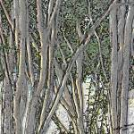 """More Light through the Crepe Myrtles"" by Joselyn_Holcombe"