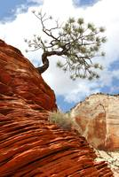 Zion Leaning Tree