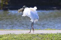 Wood stork with fresh catch
