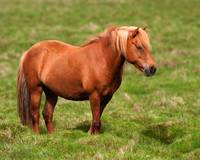 MR009 - Icelandic Chestnut Mare