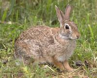 MR003 - Eastern Cottontail Rabbit