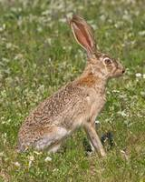MR006 - Black Tailed Jackrabbit