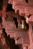 Red Fort Monkey, Agra