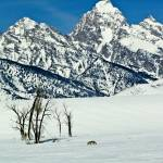 """Teton Winter Coyote"" by JTPatterson"