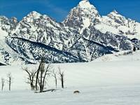 Teton Winter Coyote