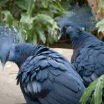 """Victoria Crowned Pigeons"" by Ahd_Child"