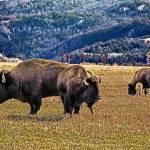"""Teton Open Range Buffalo"" by JTPatterson"