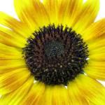 """086 Sunflower JM-008-086 Janet Marston"" by janetmarston"