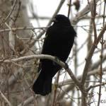"""069 Redwing Blackbird JM-008-069 Janet Marston"" by janetmarston"