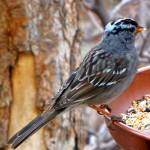 """080 White Crowned Sparrow JM-008-080 Janet Marston"" by janetmarston"