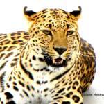 """114 Leopard JM-008-114 Janet Marston"" by janetmarston"
