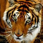 """115 Tiger JM-008-115 Janet Marston"" by janetmarston"