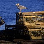 """Seagull perched on traditional wooden lobster trap"" by CapeLight"