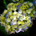 """""""hydrangea 1"""" by imagineerz"""