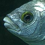 """""""Angler Eye"""" by mather_boehm_images"""