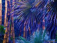 Mediterranean Fan palm 2