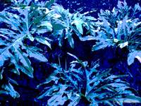 Blue Philodendron