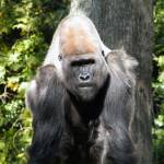 """Silverback"" by hudsons_photography"