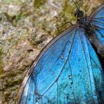 """Blue Morpho"" by margolove"