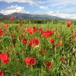 """Poppies and the Pyrenees"" by Natural_Imagery"