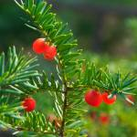 """Pine Berry 03 red"" by TommyG7"