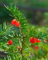 Pine Berry 03 red