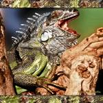 """""""Green Iguana with his Mouth Opened Wide"""" by PhotographsByCarolFAustin"""