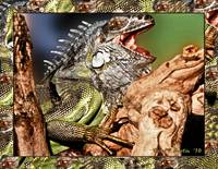 Green Iguana with his Mouth Opened Wide