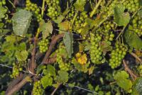 Green Grapes in August