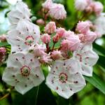 """Mountain Laurel Blooms and Buds"" by Lorraine_Sommer"