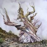 """Ancient Bristlecone"" by lindalou2"