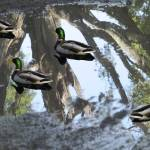 """""""Ducks swim across the sky"""" by Avianatic"""