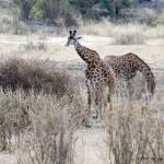 """Giraffes A Plenty"" by patgleasonphotography"