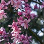 """Magnolia Tree"" by cvpictures"