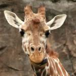 """""""giraffe"""" by jeannequiltslinden"""
