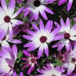"""Cineraria"" by Heartsdesire"