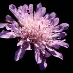 """Field Scabious"" by roger"