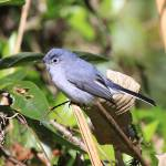 """Blue gray Gnatcatcher"" by DoubleDPhotography"