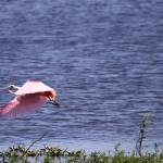 """Roseate Spoonbill"" by DoubleDPhotography"