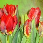 """""""tulips"""" by leyla"""
