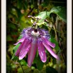 """Passiflora #9"" by carleepix"