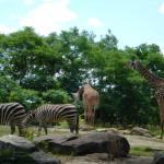 """Zebra & Giraffe"" by brentott"