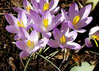 Springtime Crocuses