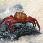 """Sally Lightfoot Crab"" by Natural_Imagery"